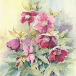 Hellebores - Watercolour