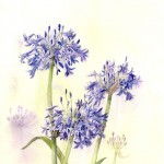 Agapanthus - Watercolour